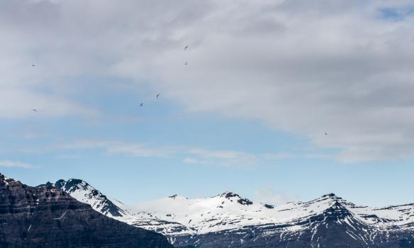 Hreindýr á beit við Jökulsárlón